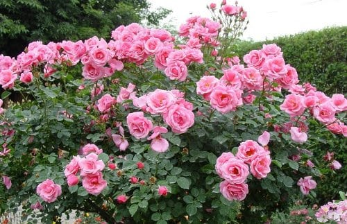 How Do You Know If Your Roses Have A Virus?